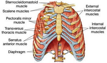breathing-muscles