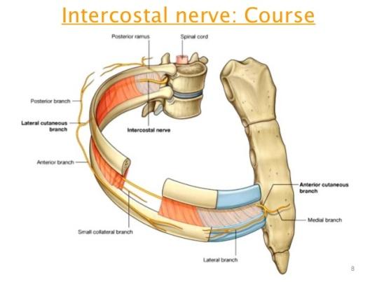 intercostal-nerve