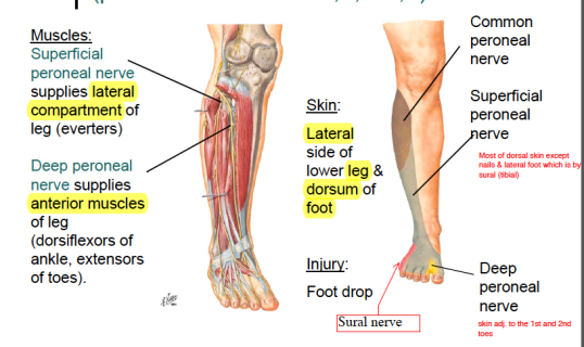 superficial-and-deep-peroneal-nerve-and-muscles