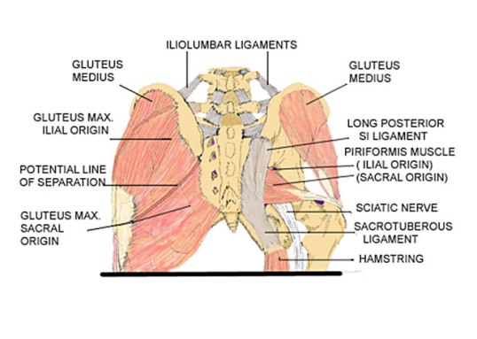 postsacrummuscles