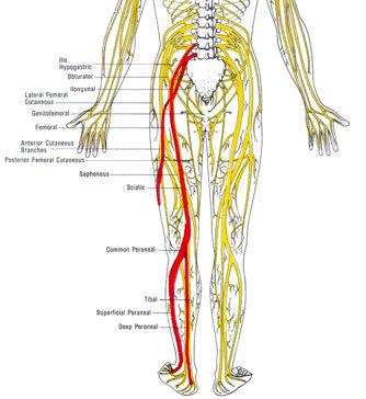 sciatic_nerve