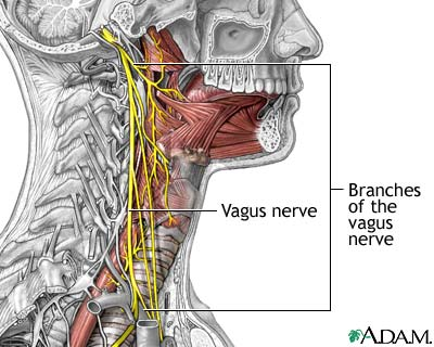 The cervical vagus nerve connection a nyc chiropractor a relatively new patient made me ponder this possible connection he had fallen on his head 30 yrs ago he complained of neck pain gall bladder pain ccuart Images